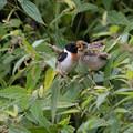 北国でノビタキさん、幼鳥と・・