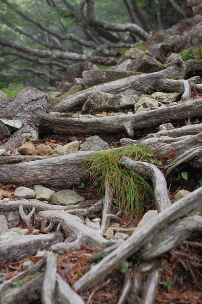 写真: 木の根