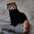 シセンレッサーパンダ#1