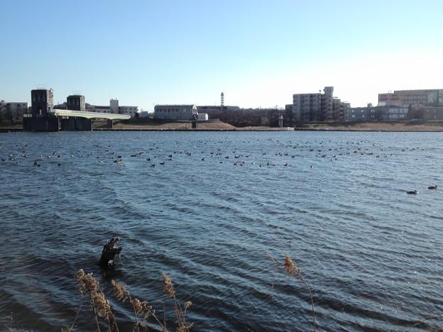 色々な種類の鴨の群れ