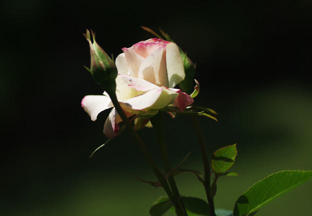 和調のバラ