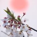 Photos: 落陽と桜