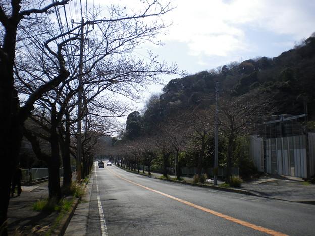 横須賀_野比_通研通り_桜状況20130319_02