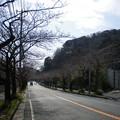 Photos: 横須賀_野比_通研通り_桜状況20130319_02