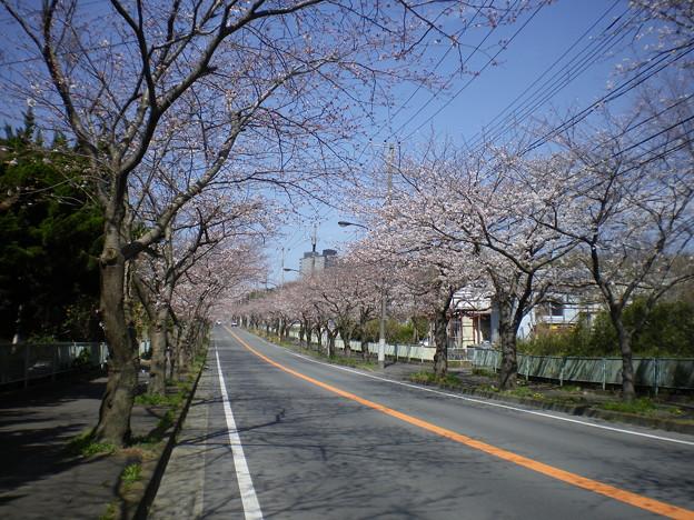 横須賀_野比_通研通り_桜状況20130322_01