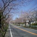 Photos: 横須賀_野比_通研通り_桜状況20130322_01