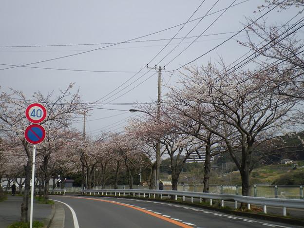 横須賀_野比_通研通り_桜状況20130323_01