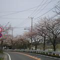 Photos: 横須賀_野比_通研通り_桜状況20130323_01