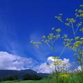 高原の女郎花♪