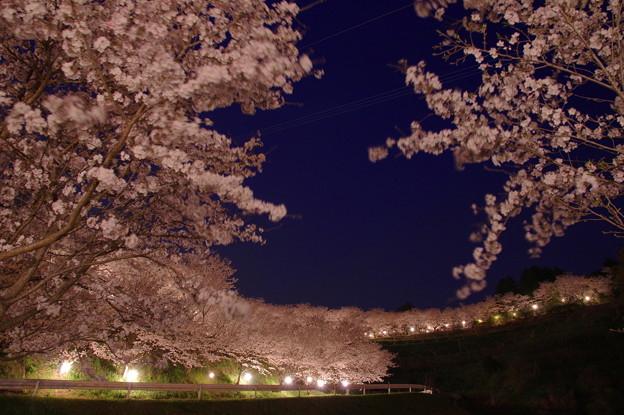 夕月桜♪?