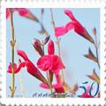 Photos: <花切手*チェリーセージ in 2012>