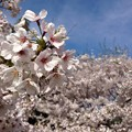 春・・さくら♪