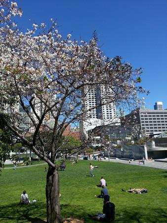 サンフランシスコの桜(2014/3/12)