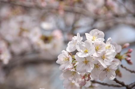 目黒川の桜・その2