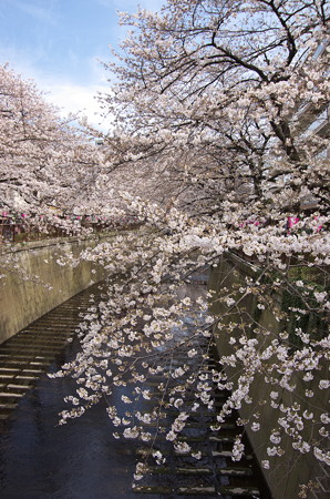 目黒川の桜・その3