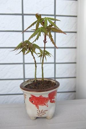 葉が揃ったモミジの鉢(2014/3/30)