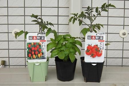 植え付けたミニトマト2鉢とバジル(2014/4/13)