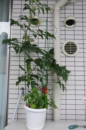 成長したミニトマト・ピンキー(2014/6/8)