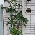 写真: 成長したミニトマト・ピンキー(2014/6/8)