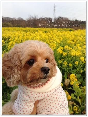 菜の花と愛犬