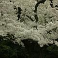 熊野神社の桜