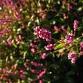 Photos: 盛り花のようなイヌタデからピックアップ