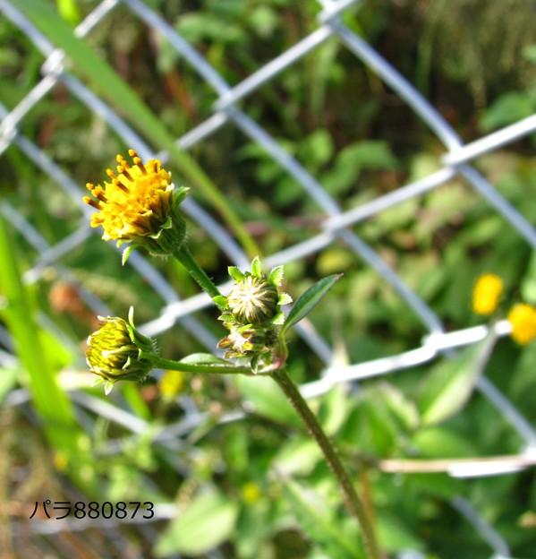コセンダングサの花と蕾