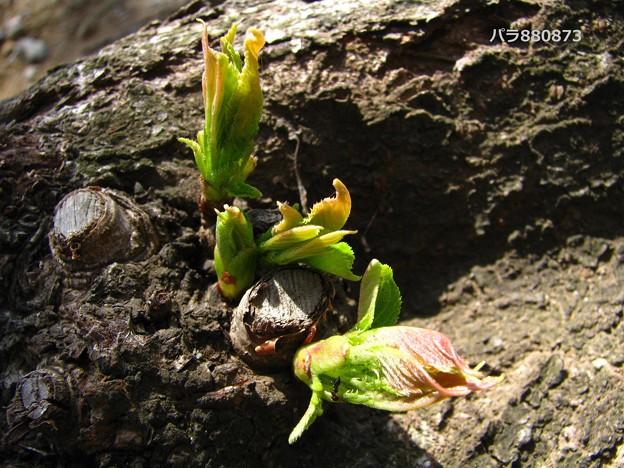 地べたの木化した太い根っこに新芽が!