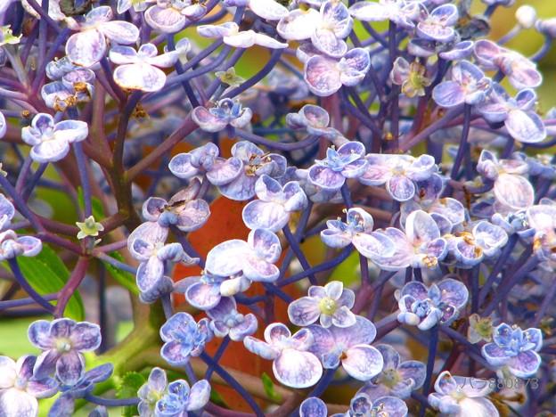 紫陽花の「ウズ」
