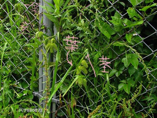 ジョウロウスゲの茎と葉