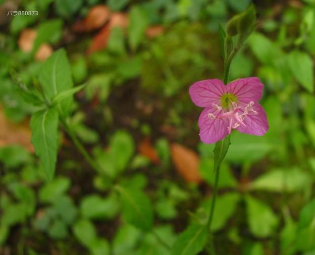 ユウゲショウの葉と蕾