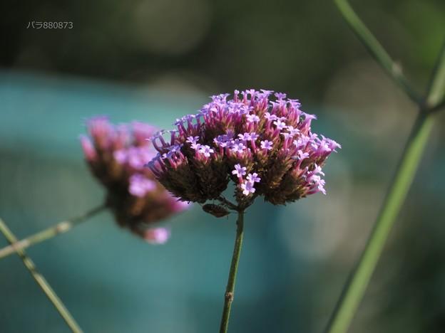 三尺バーベナの花を横から