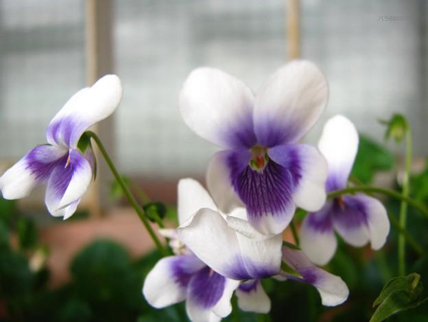 小さなスミレの花