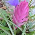 Photos: チランドシアの花