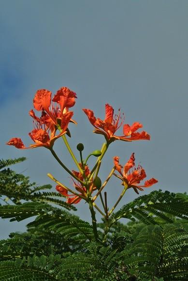 燃えるようなホウオウボクの花