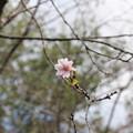 24.10.13鹽竈神社の十月桜