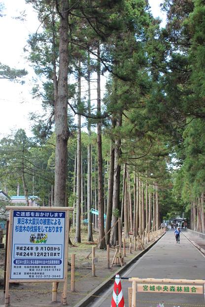 Photos: 24.10.12伐採工事中の瑞巌寺参道杉林