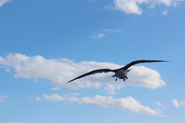 Photos: 24.10.12松島海岸のウミネコ