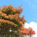 Photos: 24.10.17我が家の灯台躑躅