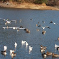 24.12.8加瀬沼の野鳥