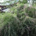 Photos: 25.9.14鹽竈神社の宮城野萩