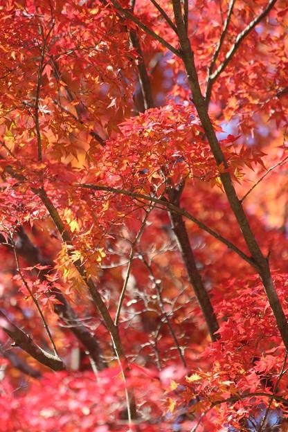 25.11.19扇谷の紅葉