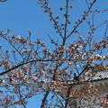 Photos: 26.4.7白石城の桜