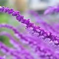 Photos: 紫の花園