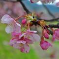 写真: 濃いピンクと大きな花