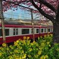 写真: 河津桜と菜の花と電車