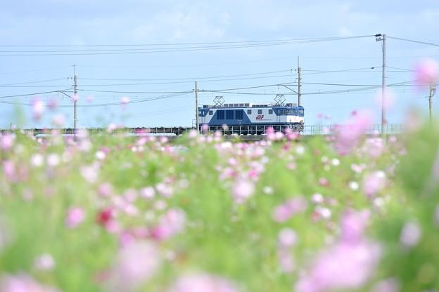 Photos: EF64-1037 コスモス畑を行く