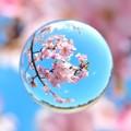 春玉 桜ver