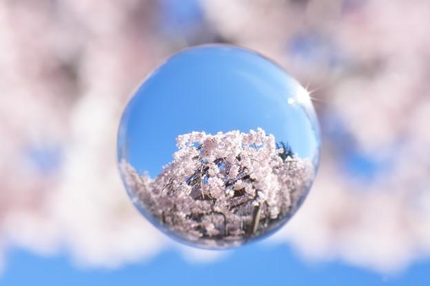 枝垂れ玉桜