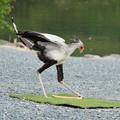 Photos: 蛇食鷲(へびくいわし)